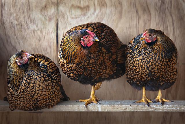 3chickens on shelf medium