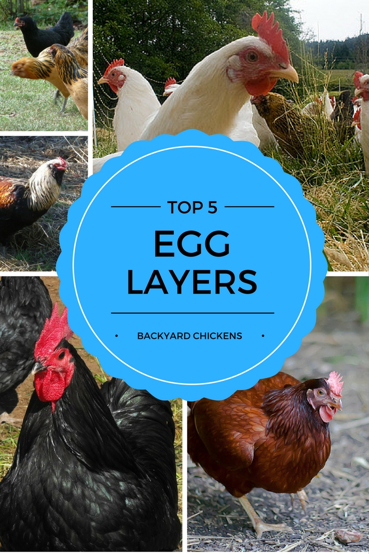 TOP 5 EGG LAYING Chicken Breeds