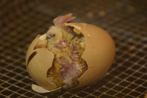 backyard chicken zone - chicken egg hatching