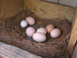 backyard chicken zone - chicken eggs in nesting box